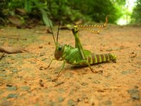 Another big grasshopper with spikes :)