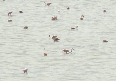 Pink flamingos - Laguna de la Fuente de Piedra