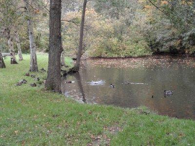 Ducks playing in the pond Skovmøllen