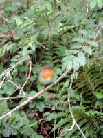 A lovely Robin fluttering about in the bushes