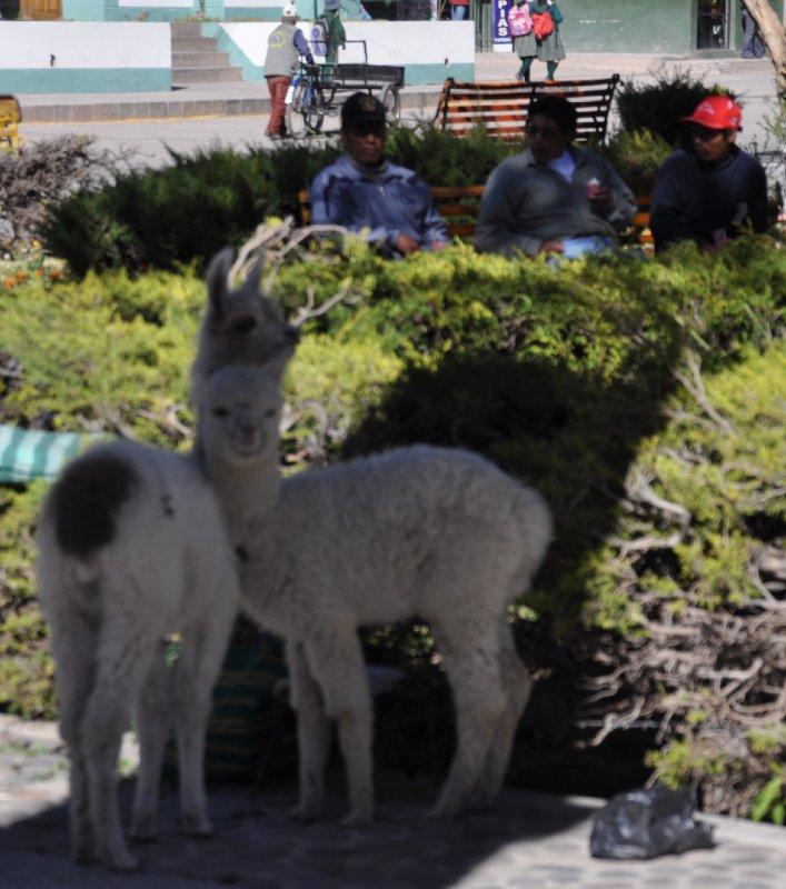 Llamaer på torget i Chivay