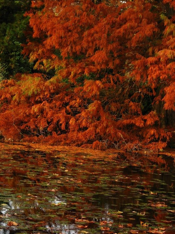 Autumn foliage and pond