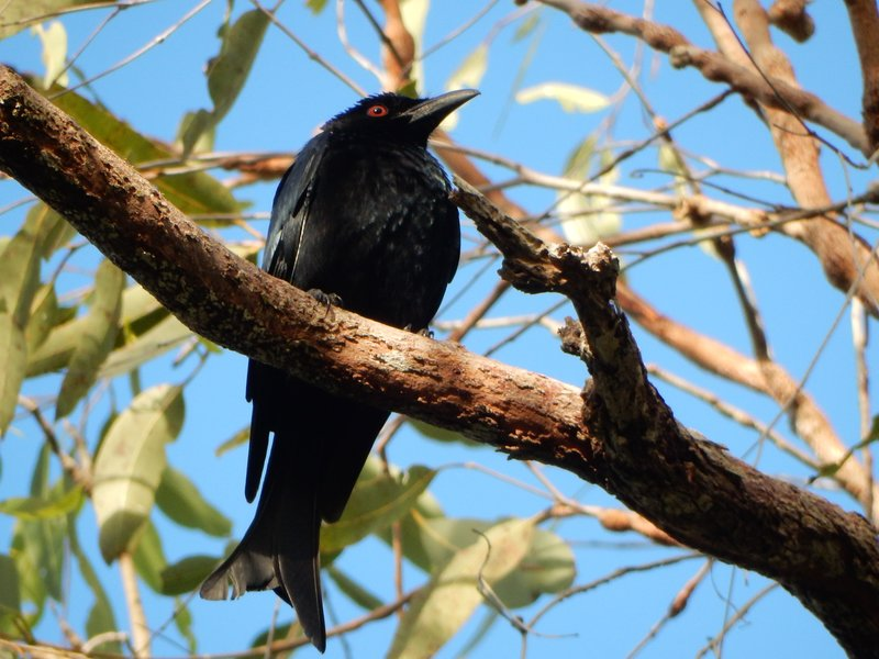 Spangled Drongo bird at Bluewater rest area camp