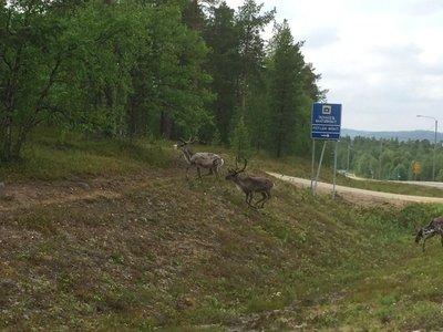 Reindeers crossing the road