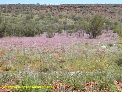 Wildflowers on the Mereenie Looop