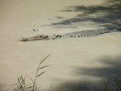 Ubirr croc - Kakadu NP