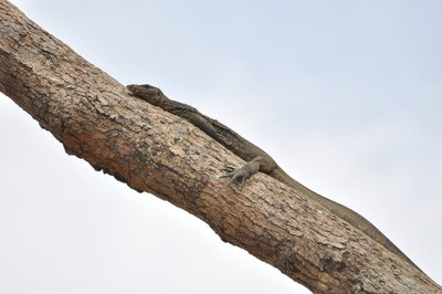 Monitor Lizard on a Tree