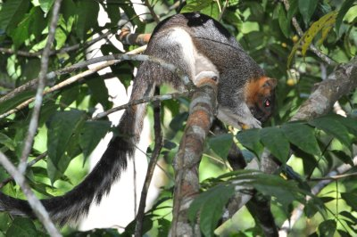 Giant Squirrel on Canopy Walkway