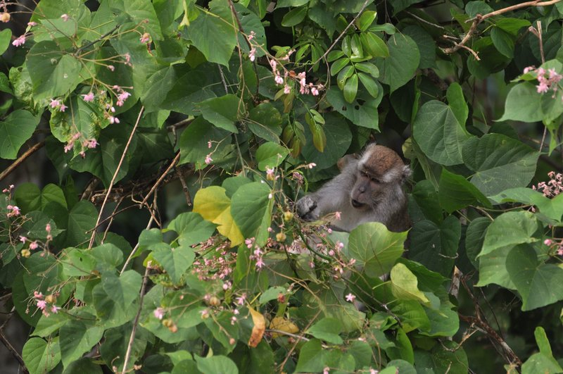 Long Tailed Macaque Chowing Down on Some Flowers