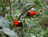 Cock of the Rock (Peru's national bird)