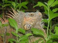 Iguana.Cozumel, México.Varo