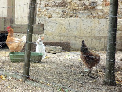 Chicken, Chicken, Bunny