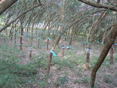 Rubber tree farm next door