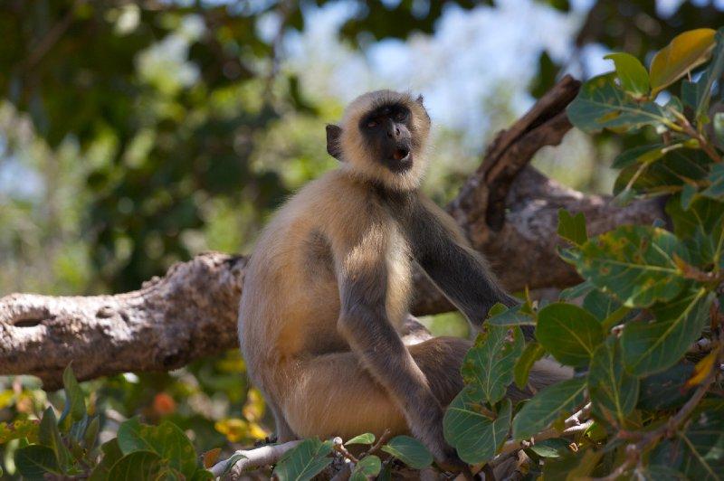 Monkey in Chittorgarh