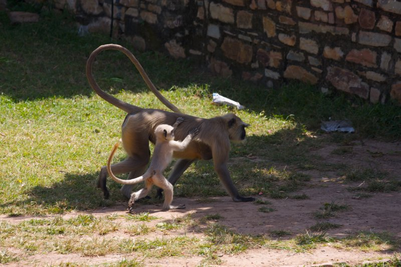 Monkeys in Chittorgarh
