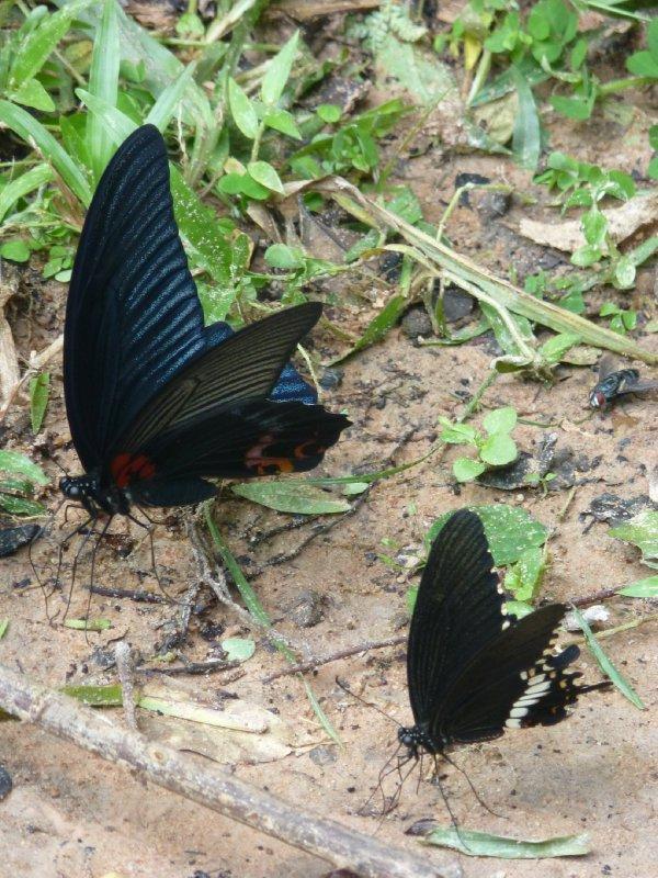 Butterflies at Angkor