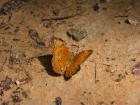Butterfly at Angkor