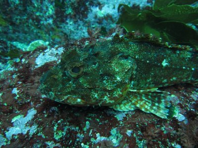 Scorpion Fish at Poor Knight Islands