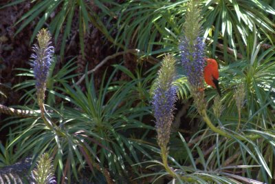 L'iwi Bird