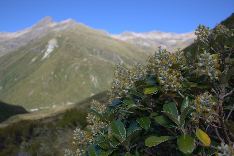 Flowering Shrubs on Otira Valley Track