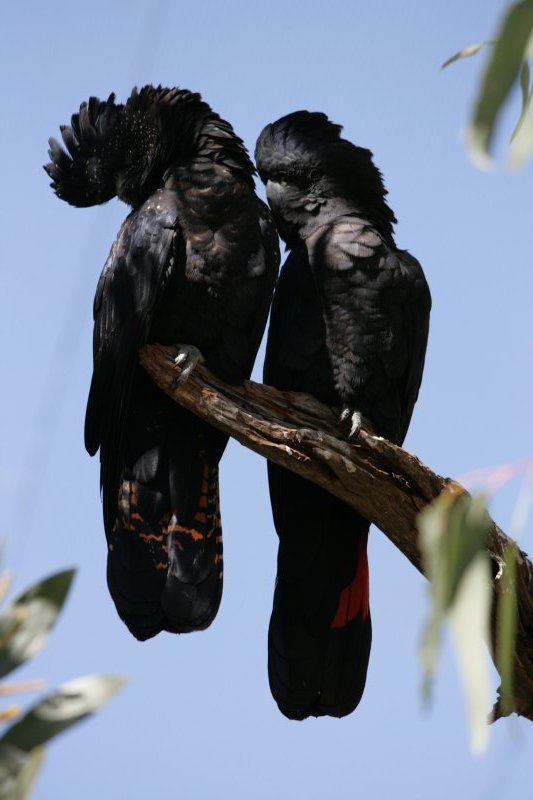 Red-Tailed Black Cockatoos