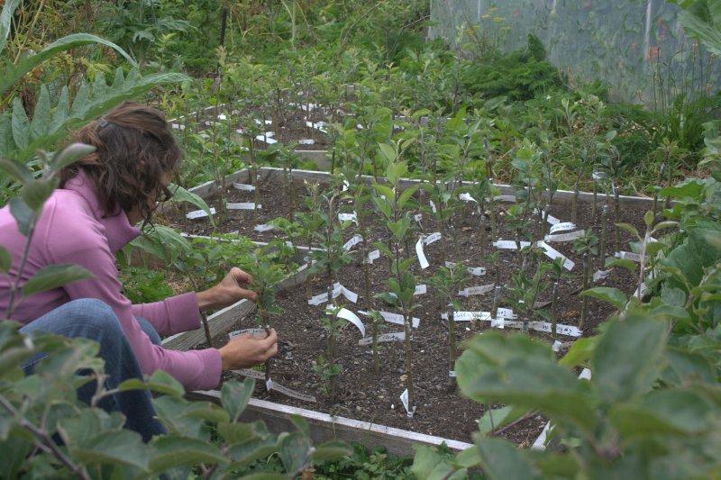 Julie Grafting Heritage Apple Trees