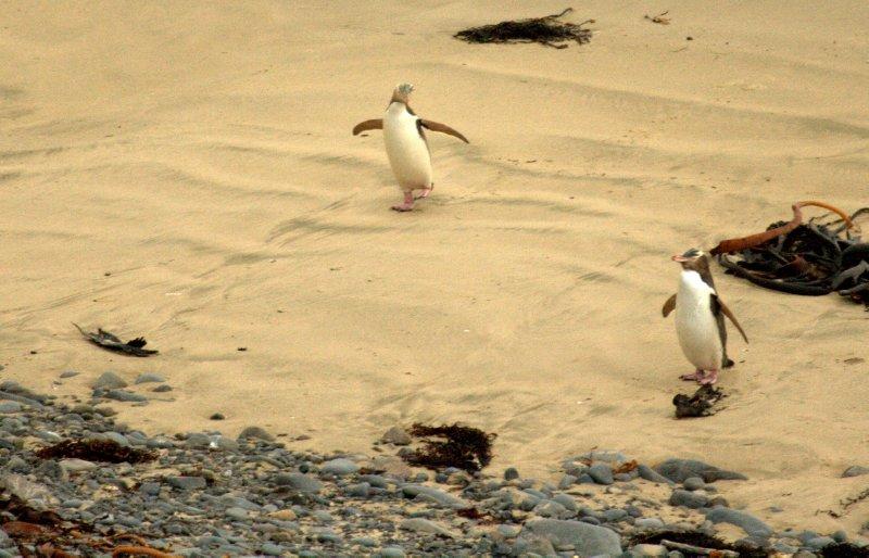 Yellow-Eyed Penguins at Roaring Bay