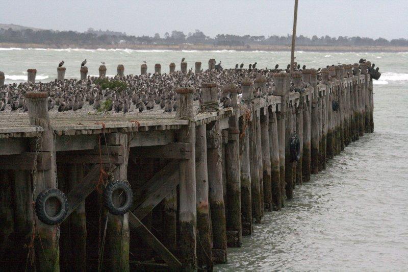 Shags on Pier in Oamaru