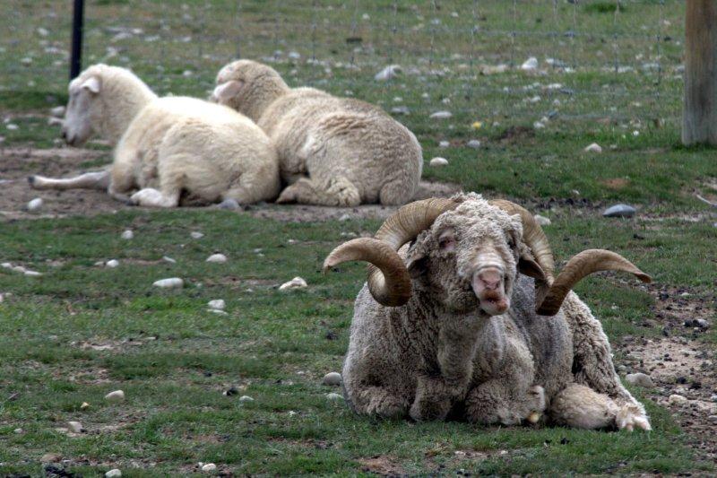 Merino Sheep at Wrinkly Rams