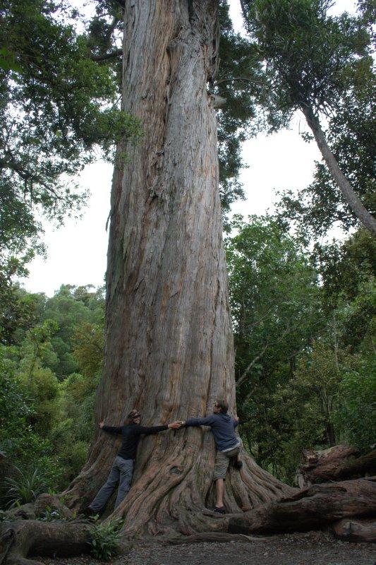 Massive Totara Tree in Peel Forest