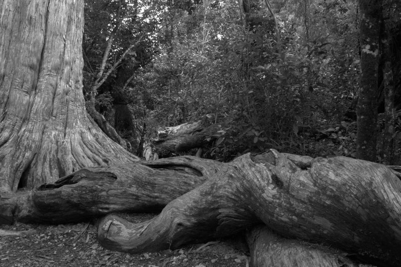 Totara Roots in Peel Forest
