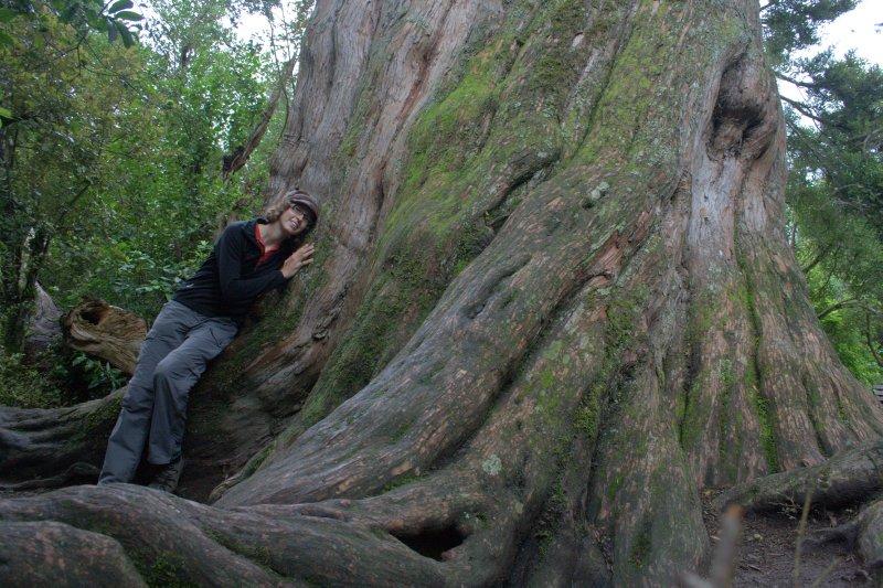 Totara Tree in Peel Forest