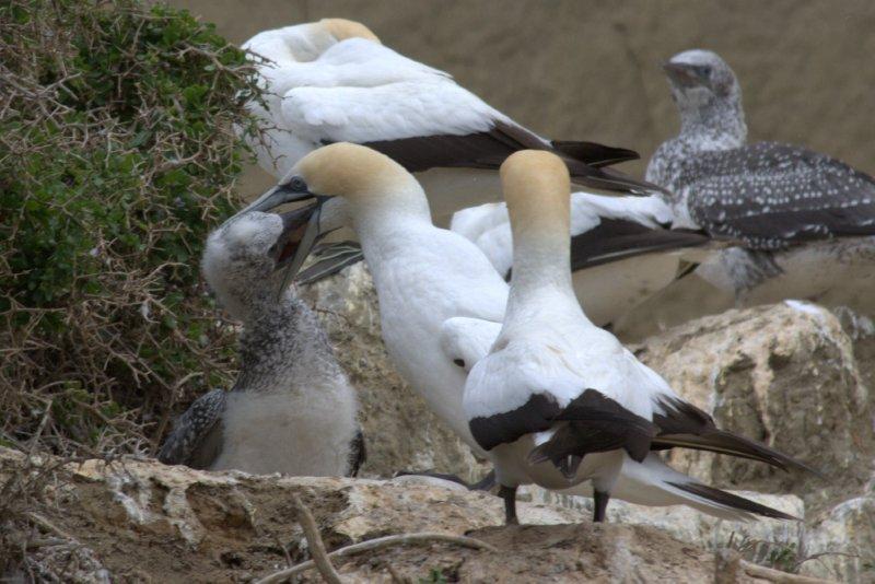 Feeding Young Gannet