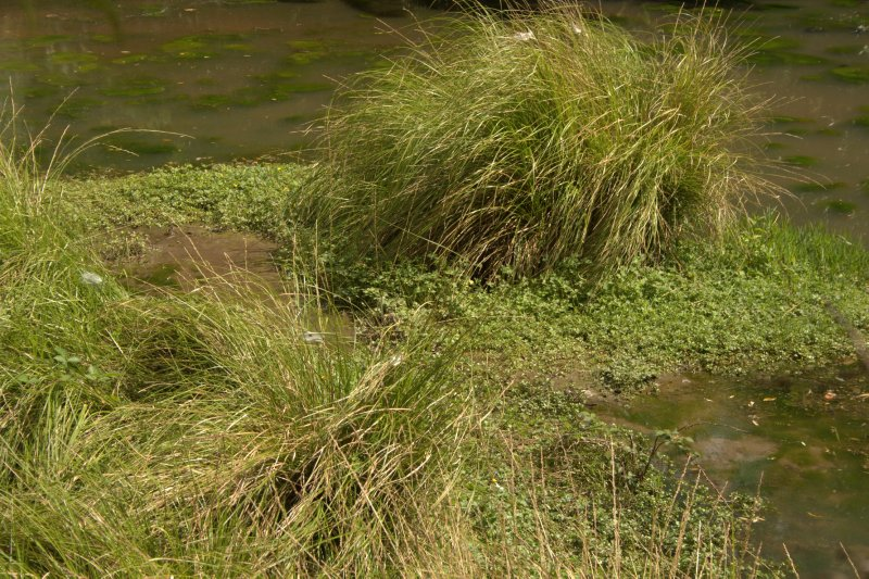Native Wetland Grasses