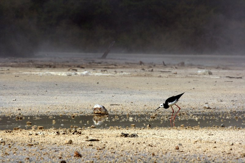 Pied Stilts Hunting for Insects