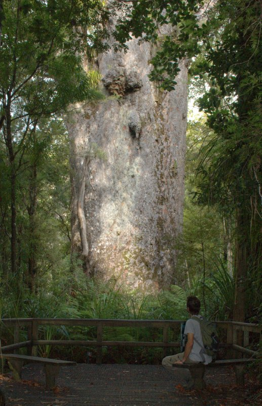 Te Matua Ngahere (Father of the Forest) - Widest Kauri