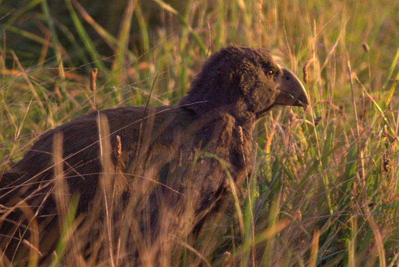 Takahe Chick