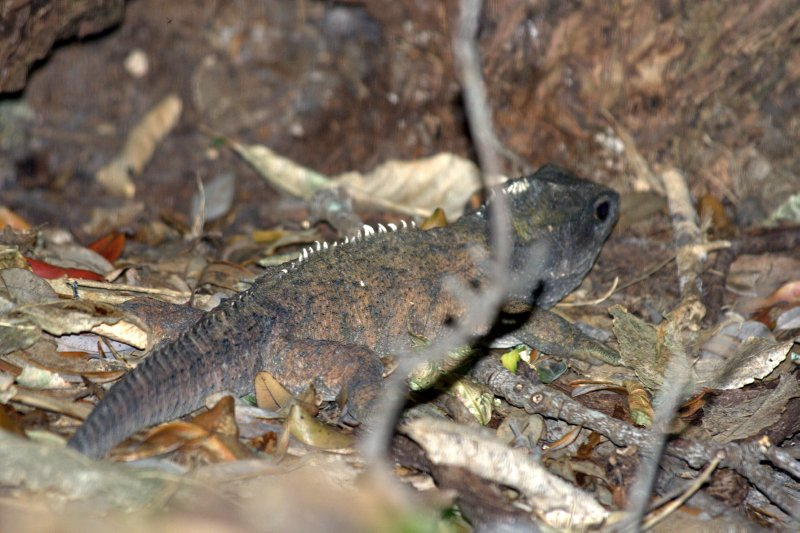 Northern Spotted Tuatara