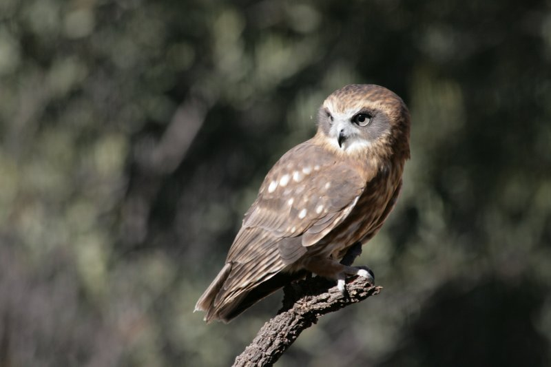 Southern Boobook Owl