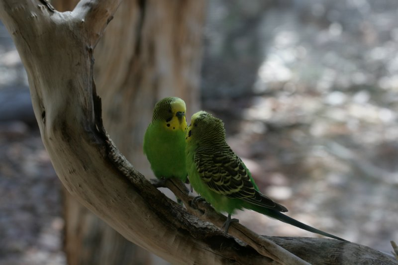 Breeding Pair of Budgerigars