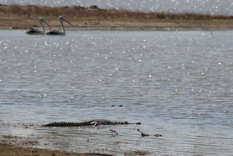 Freshwater Crocs in Bird Billabong, Mary River NP