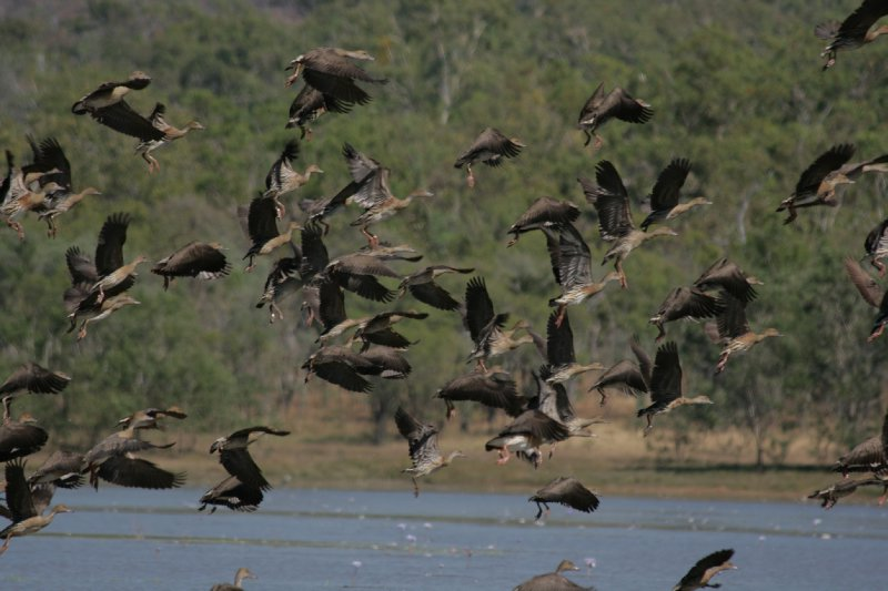 Whistling Ducks at Bird Billabong, Mary River NP