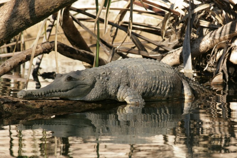 Freshwater Croc in Lawn Hill Creek