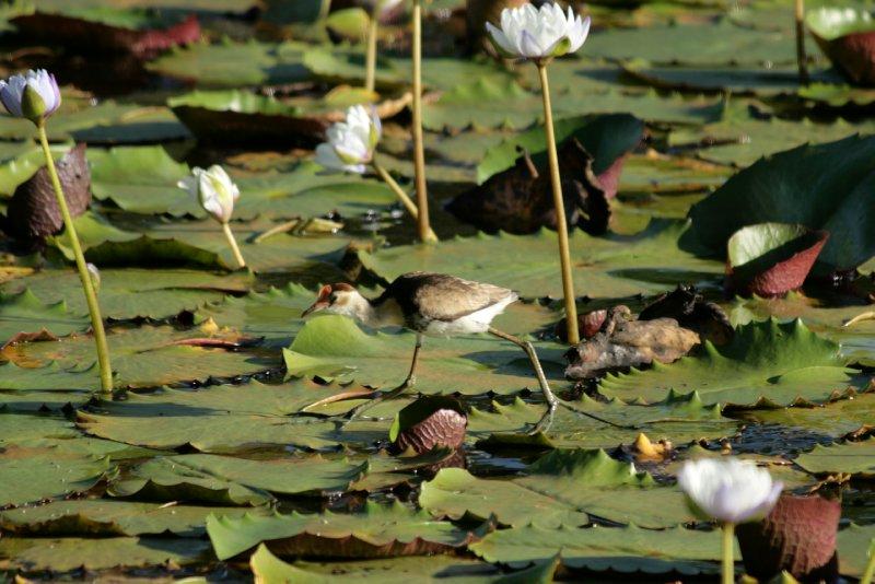 Jacarra (Jesus Bird) at Keatings Lagoon