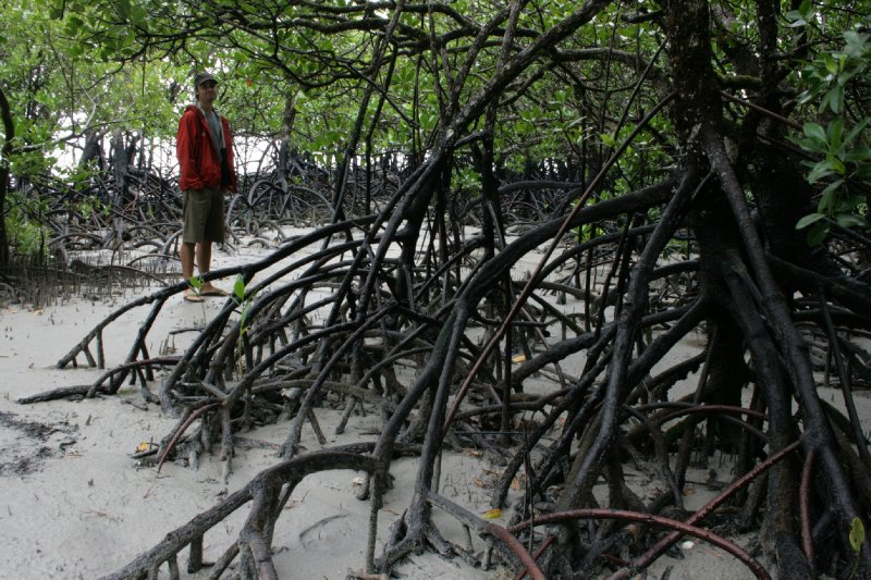 Mangroves at Myall Beach