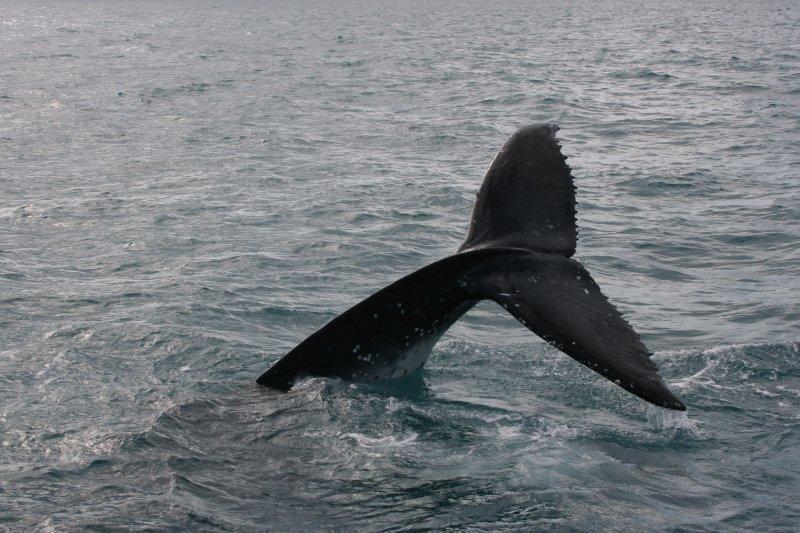 Humpback Tail Fluke