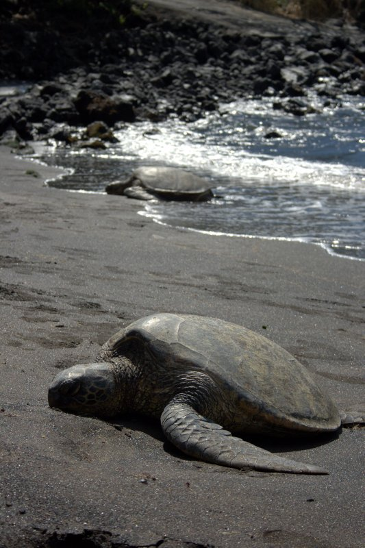 Green Sea Turtles on Punalu'u