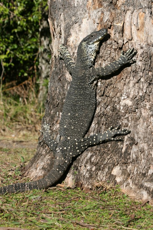Goanna Climbing Tree at Nightcap NP