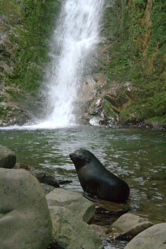 Baby Seal at Ohau Waterfall