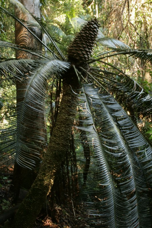 Old Male Cycad in Dorrigo NP